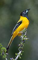 561850027 a wild audubon's oriole icterus graduacauda at santa clara ranch hidalgo county rio grande valley texas united states
