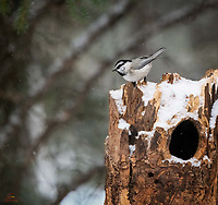 Mountain Chickadee (Poecile gambeli) in a rare moment of rest.  These tiny birds typically swoop in to grab a morsel of food and immediately fly away, presenting a difficult subject for photographers.  This individual paused on the top of the stump for just a moment, long enough to capture its inquisitive stare below.