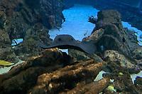 Rochen im Ozeanium im Vergnügungspark Zoomarine - 25.09.2019: Zoomarine Park, Guia, Albufeira an der Algarve