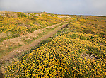 Yellow flowering common gorse and heather on St Agnes Head, Cornwall, England