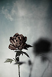 single rose with shadow against textured background
