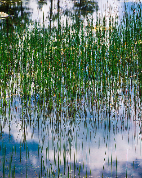 Reeds in water reflecting,Halsey Lake,White Mountains,Arizona