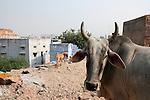 Cow, Jodhpur, Rajasthan