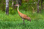 Sandhill crane walking next to the forest's edge in northern Wisconsin.