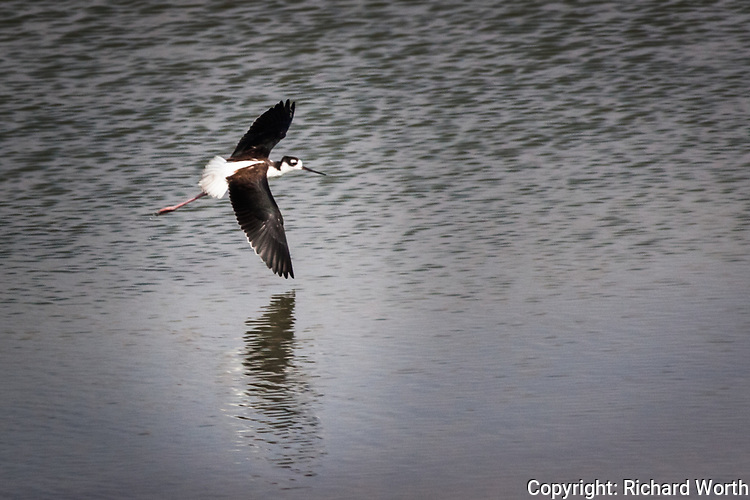 Tipping a wing and reflecting, a Black-necked stilt takes flight in a pond along the San Francisco Bay Trail in San Lorenzo, California.
