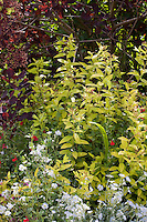 Yellow leaf foliage Spirea shrub, Spiraea japonica 'Limemound' with purple Cotinus in Maile Arnold garden