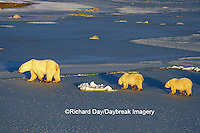 01874-01116 Polar Bears (Ursus maritimus) female with 2 cubs walking on frozen pond  Churchill  MB