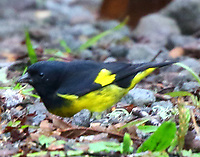 Male yellow-bellied siskin