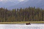 Bull Moose feeding in Mayfield Lakes.  Muskwa Kechika Management Area, of northeast B.C.<br />