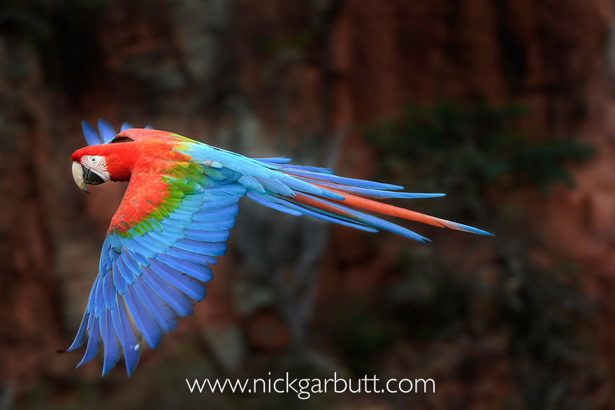 A red-and-green macaw or green-winged macaw (Ara chloropterus) (Family Psittacidae) in flight over forest canopy. Buraco das Araras (Sinkhole of the Macaws), Jardim, Mato Grosso do Sul, Brazil. September.