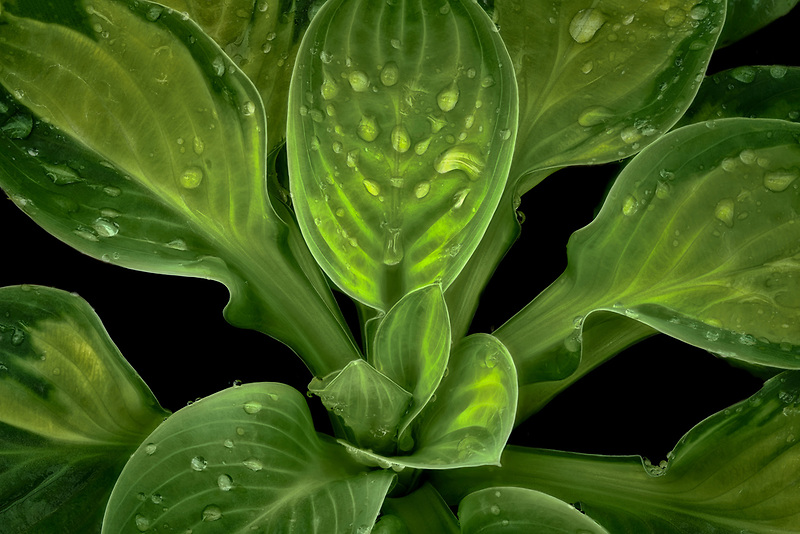 Close up of Hosta 'Rainforest Sunrise'. Oregon