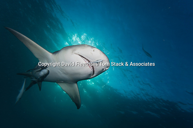 Late day light and a lemon shark, Negaprion brevirostris, underwater with remoras, West End, Grand Bahamas, Atlantic Ocean.