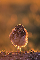 Burrowing Owl (Athene cunicularia), adult shaking, Colorado, USA