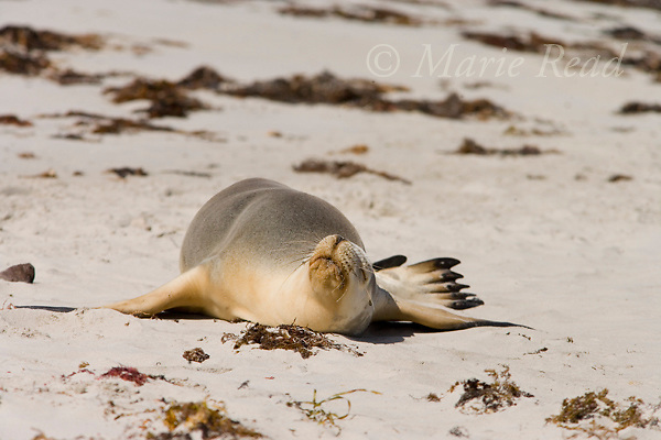 Australian Sea-lion (Neophoca cinerea), basking in the sun, Seal Bay, Kangaroo Island, Australia.