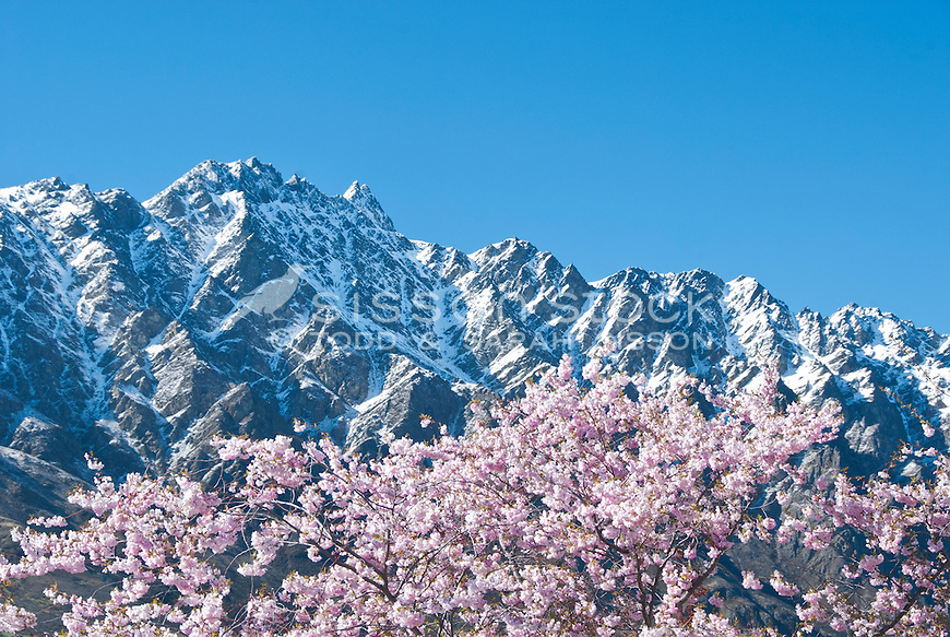 Pink spring blossom with snow capped  Remarkables mountains behind, Central Otago, South Island, New Zealand