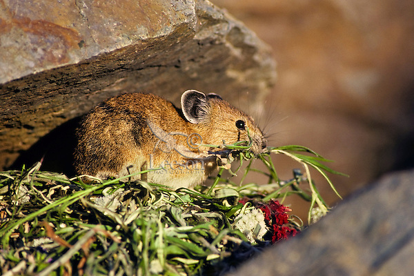 Pika gathering food for winter haypile (it collects grass and flowers, etc. into a pile that dries in the sun and then is hauled beneath the rocks for a winter food supply), Pacific Northwest, summer.