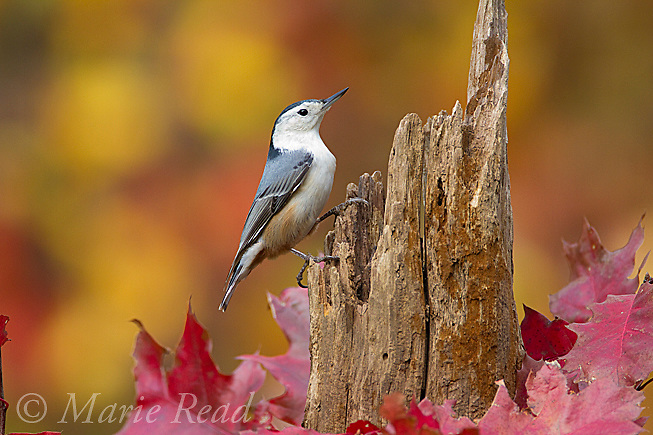 White-breasted Nuthatch (Sitta carolinensis) female in autumn, New York, USA