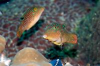 2 Solander's toby, Canthigaster Solandri, together, Mergui archipelago, Burma / Myanmar, Asia