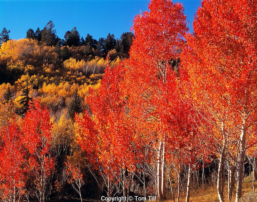 Rare Red Aspens, Utah     Boulder Mountain   Dixie National Forest   Populus tremuloides