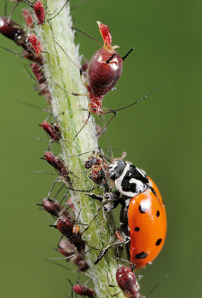 Seven-spotted Ladybug (Coccinella septempunctata), adult eating Aphids (Aphidoidea),  Laredo, Webb County, South Texas, USA