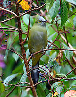 Long-tailed silky-flycatcher. This bird is probably a female because of lighter color.