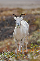 Dall sheep ewe, Atigun Pass, Brooks Range mountains, Arctic, Alaska.