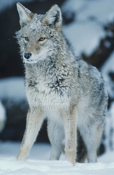 Coyote (Canis latrans), adult in snow, Starr County, Rio Grande Valley, Texas, USA