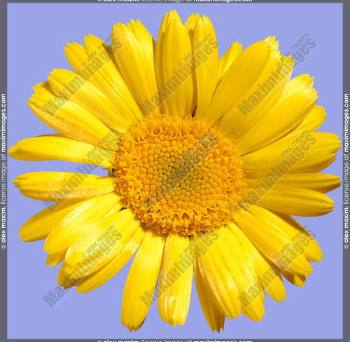 Yellow daisy-type flower close-up texture Isolated on light blue background with a clipping path