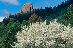 Spring blossoms adorn a blooming apple tree with Prospect Mountain as a backdrop, in Estes Park, Colorado, Rocky Mountains, USA