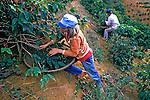 Colheita de café em encostas. Espírito Santo. 1991. Foto de Juca Martins.
