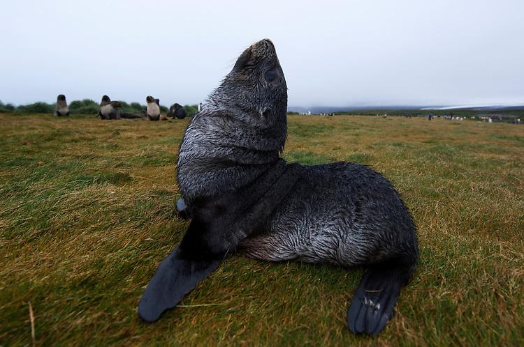 A young Antarctic fur seal (Arctocephalus gazella), Salisbury plain, South Georgia