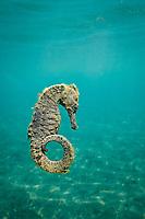 Longnose seahorse, Hippocampus trimaculatus, Amami-ohsima island, Kagoshima, Japan, Pacific Ocean