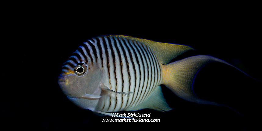 Blackspot Angelfish, Genicanthus melanospilos, Koro Sea, Fiji, Pacific Ocean