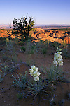 Yucca (Yucca harrimaniae) and tree at sunrise, Grand Staircase-Escalante National Monument, Utah
