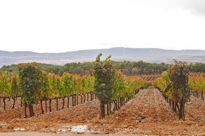 Vineyard. Quinta do Carmo, Estremoz, Alentejo, Portugal