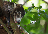 This white-nosed coati appeared to be very pregnant.