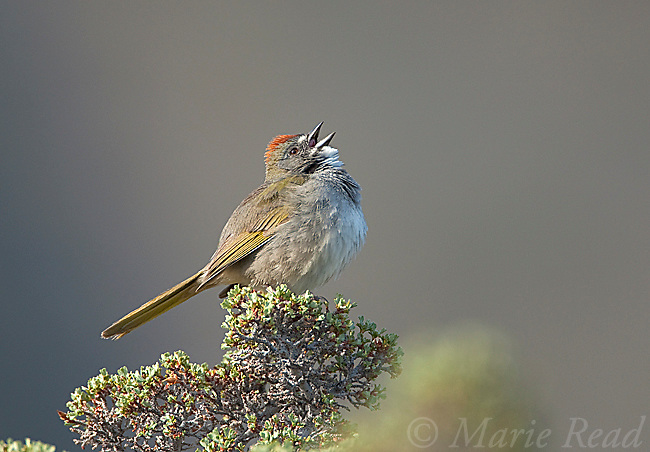 Green-tailed Towhee (Pipilo chlorurus), male singing, Mono Lake Basin, California, USA