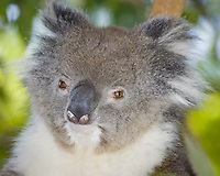 Close-up of a koala bear in a tree, Phascolarctos cinereus, blurry background. Australia.