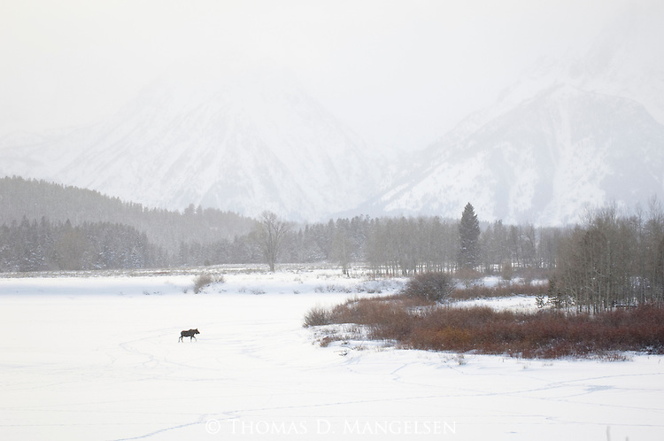 A moose crosses the frozen Snake River in Grand Teton National Park.
