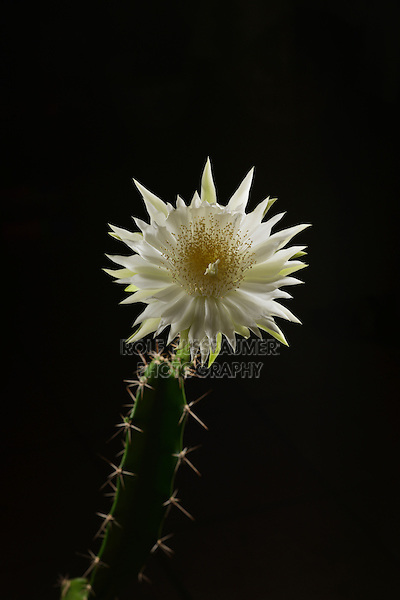 Night-blooming Cereus, Barbed-wire Cactus (Acanthocereus tetragonus), flower bud opening at night, time lapse, series, Texas, USA
