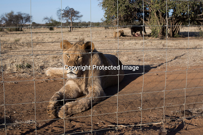 A lion rests at Boskoppie Lion and Tiger reserve on August 7 2015 in Kroonstad. South Africa. The farm has about 100 lions, some tigers and a few jaguars. South Africa has hundreds of breeding farms for lions and many of the animals are sold to hunting companies that use them for canned hunting. There are about 8000 lions in captivity and only around 2000 in the wild in South Africa. (Photo by: Per-Anders Pettersson)