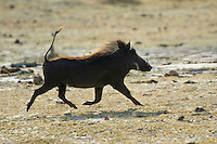 Warthog (phacochoerus aethiopicus) on the run.<br /> Moremi, Botswana.<br /> September 2007.