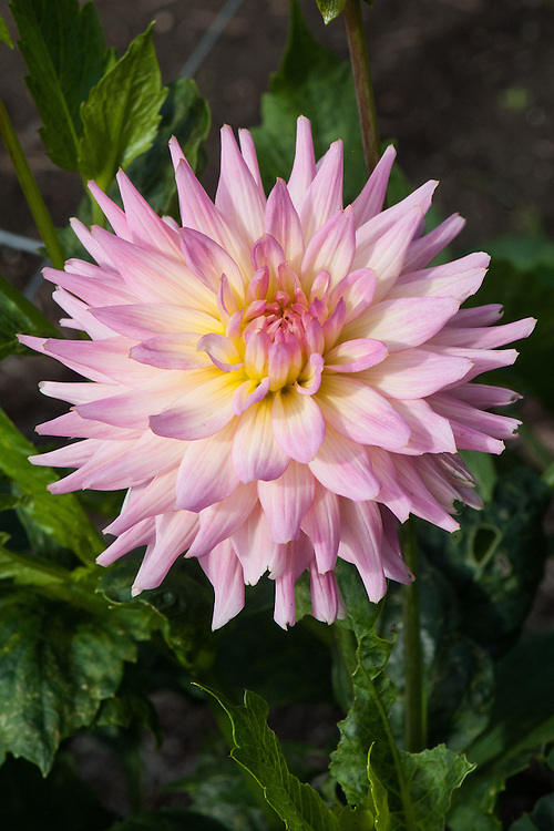 Dahlia 'Melody Gipsy', early September.
