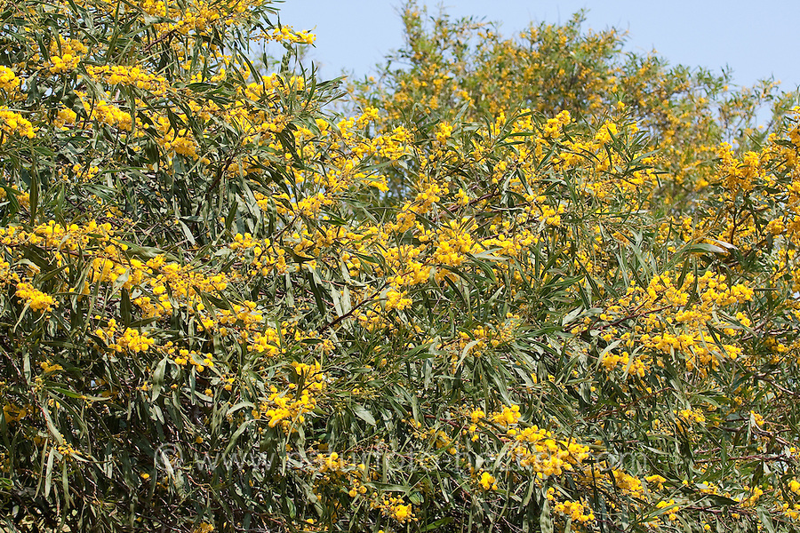 Weidenblatt-Akazie, Weidenblattakazie, Weidenblättrige Akazie, Weidenartige Akazie, Blaublättrige Akazie, Acacia saligna, coojong, golden wreath wattle, orange wattle, blue-leafed wattle, Western Australian golden wattle, Port Jackson willow