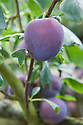 Plum 'Edda', mid July. A blue-skinned dessert plum with yellow flesh from Norway, about 1950.