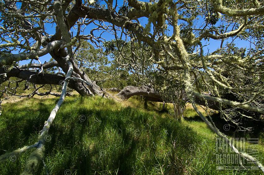 Moss-covered koa trees on the slopes of Mauna Loa, Big Island.