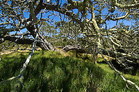 Moss-covered koa trees on the slopes of Mauna Loa, Big Island.