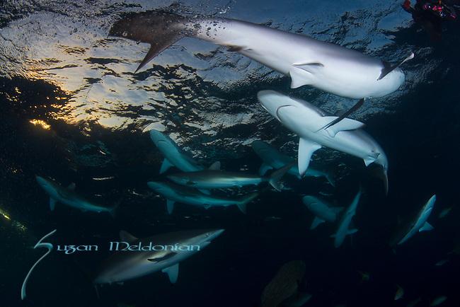 Cuba Underwater, Grouper, Jardines de la Reina, Protected Marine park underwater, Reef Sharks, Sharks, Silke Sharks, Under Sunset and sharks, Carcharhinus falciformis