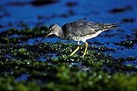 Ulili, wandering tattle, native migratory bird