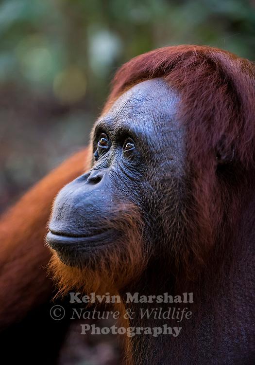 "Female Orangutan ""Siswi"" (Pongo pygmaeus) - Tanjung Puting National Park, Central Kalimantan Indonesia."